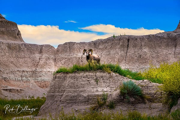 No 1003 20190811 Badlands Bighorn Sheep