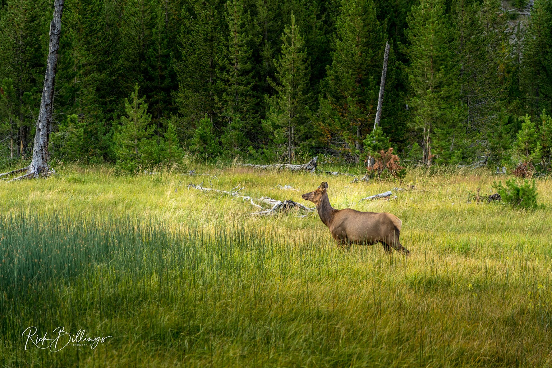 No 1051 20190820 Yellowstone Elk