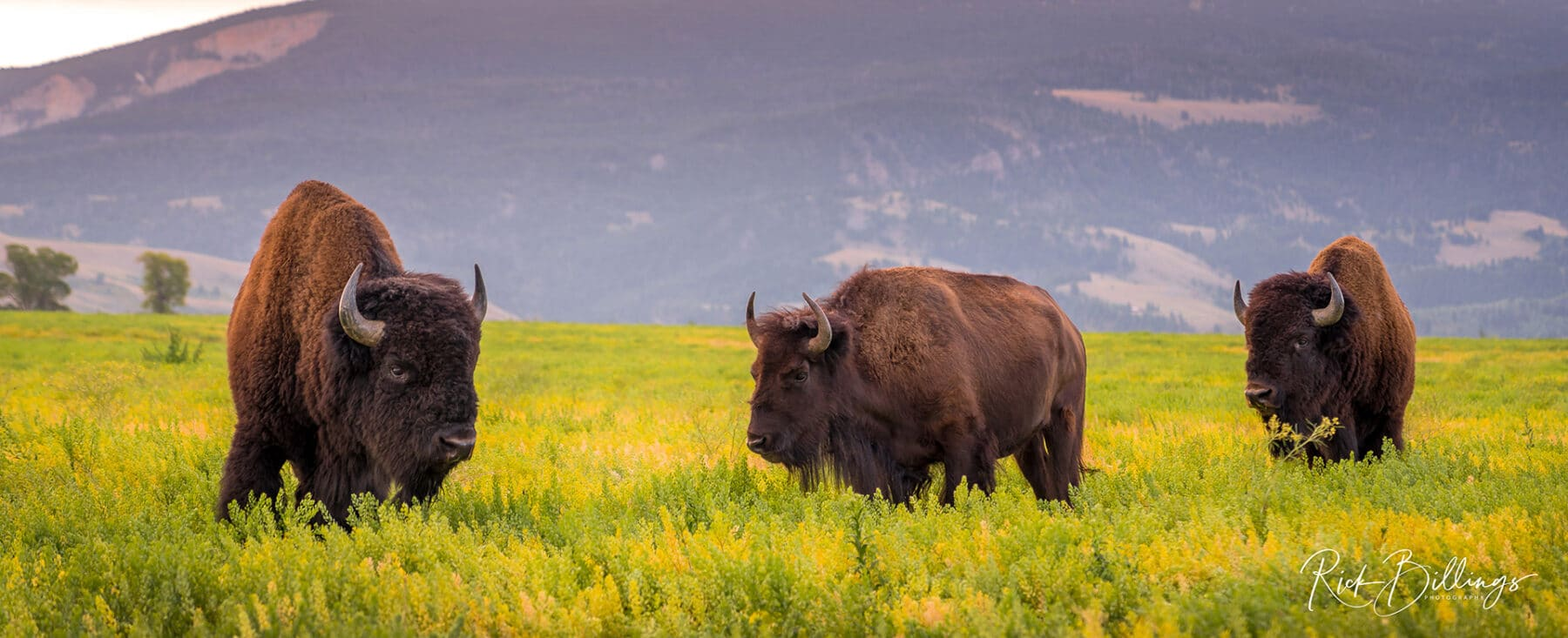 No 1070 PANO 20190823 Bison 3