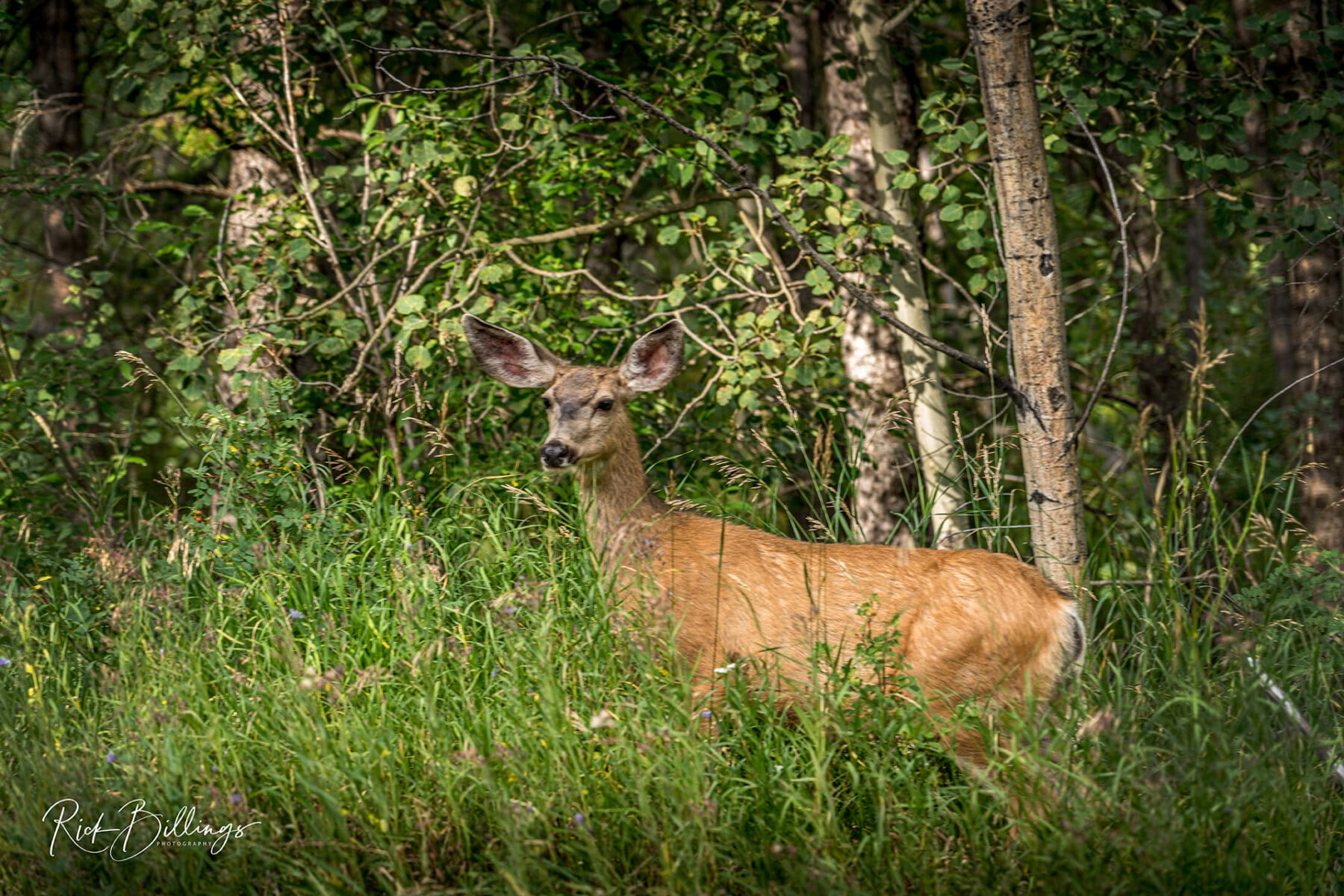 No 1074 20190823 Jackson Hole Deer
