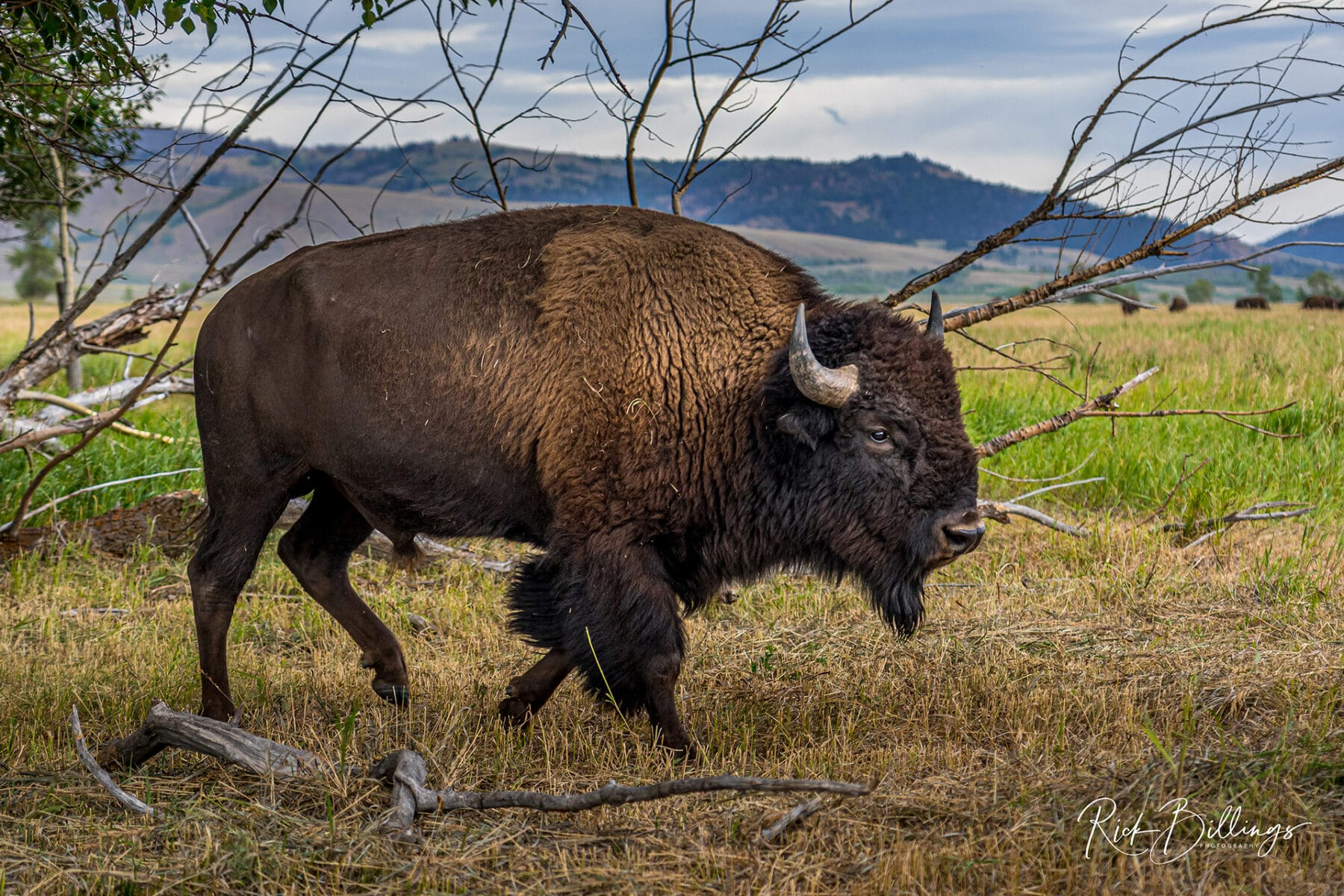 No 1076 20190822 Roaming Bison