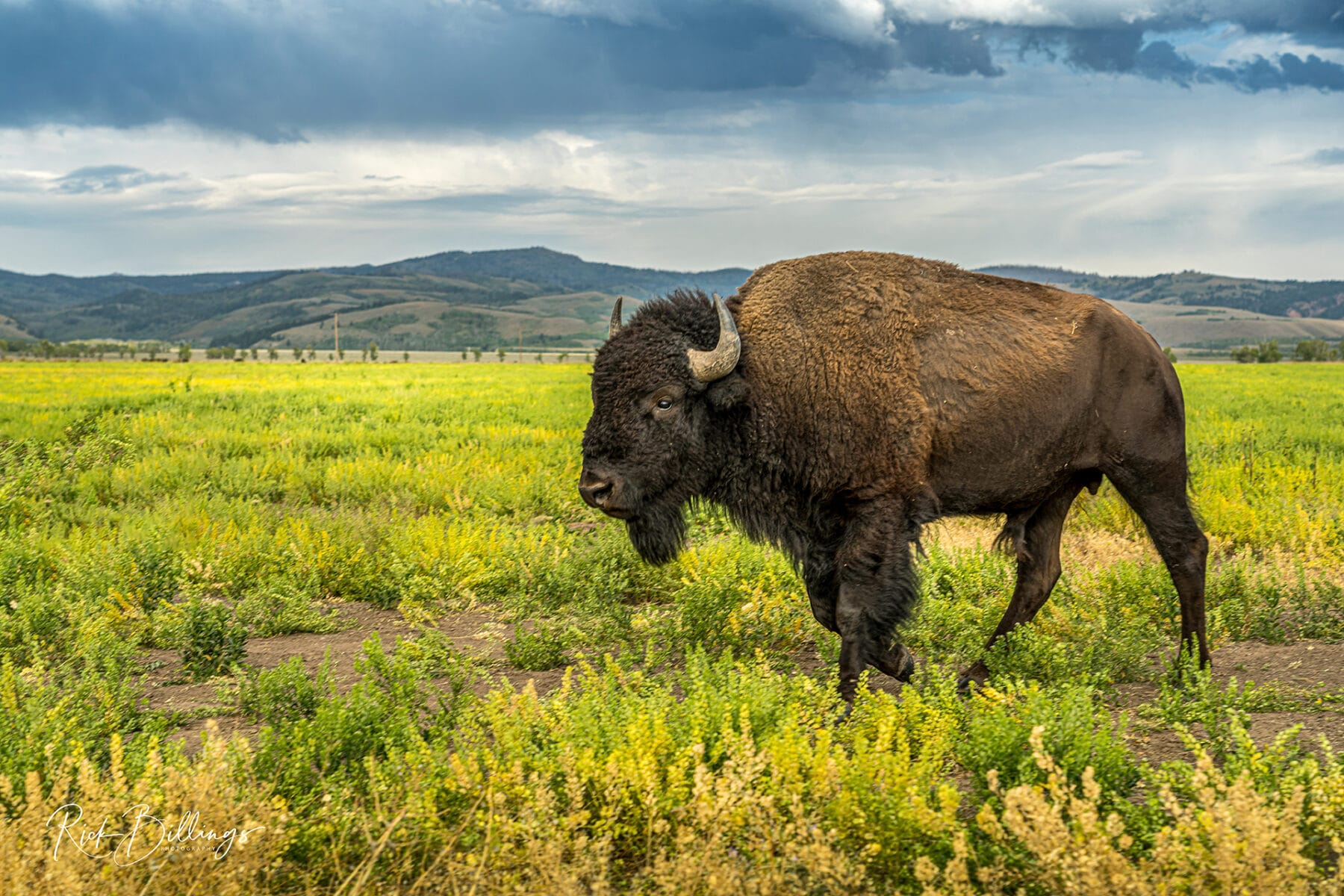 No 1077 20190822 Bison on the Move