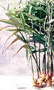 ariix restoriix ginger root