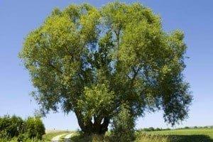 ariix restoriix willow tree bark