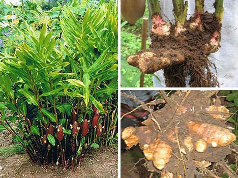 ginger root in the ariix restoriix