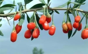 goji berry in the ariix rejuveniix