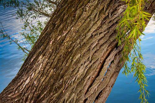 willow tree bark ariix restoriix